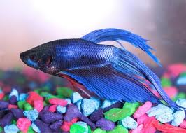 Betta-Fish-1t63qfo